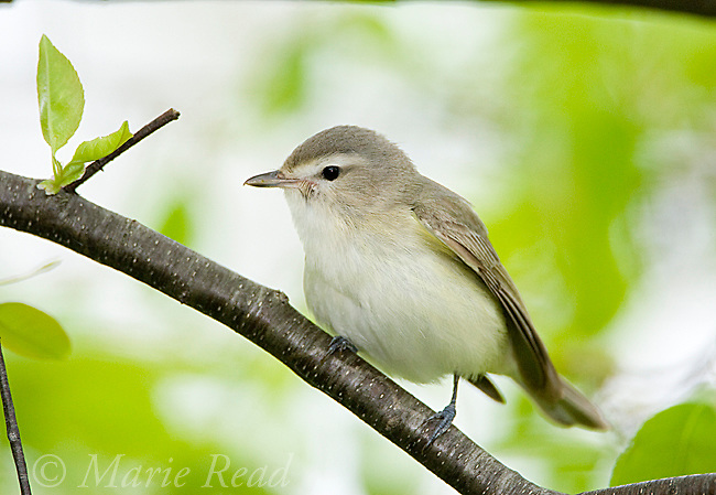 Warbling Vireo (Vireo gilvus) in spring, New York, USA