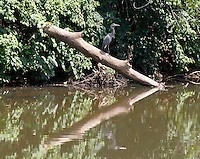 A blue heron rests on a log on the Rivanna River in Charlottesville, VA.  Photo/Andrew Shurtleff