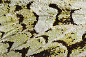 Wing detail of Merveille-du-Jour moth {Dichonia aprilina}, a species well camouflaged against lichen. UK