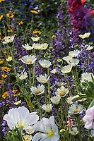 Layia glandulosa,  White Tidy-tips; California native wildflower in bee-friendly pollinator garden; Kate Frey Garden