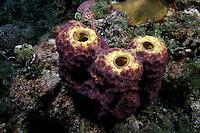 Tube Sponges, Bahama Islands