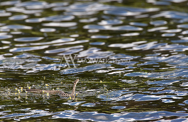 A wandering garter snake swims in Trout Lake.