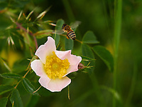 Gathering nectar from a dog rose. Bees are gluttons for the pollen from this flower.<br /> Butinage sur une fleur d'églantier. Les abeilles raffolent du pollen de cette rosae.