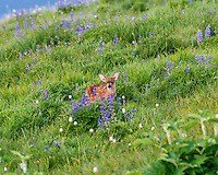 Columbian black-tailed deer (Odocoileus hemionus columbianus) fawn in subalpine meadow surrounded by lupine and bistort wildflowers.  Pacific Northwest.  Summer.