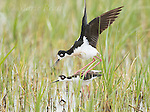 Black-necked Stilt (Himantopus mexicanus) pair copulating, Bear River Migratory Bird Refuge, Utah, USA