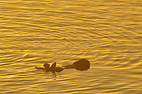 Sea Otter (Enhydra lutris). Sunrise.  California.