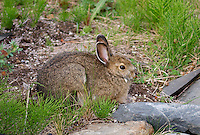 December 23, 2010, Snowshoe Hare (Lepus americanus) also known as the Varying Hare in brown summer morph, Anchorage, Alaska, United States.