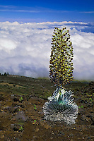 A lone mature Silversword plant in HALEAKALA NATIONAL PARK on Maui in Hawaii