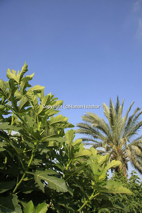 Israel, Carmel Coastal Plain. A Fig and Date tree at Bustan Hacarmel tropical tree garden