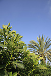 Israel, Carmel Coastal Plain. A Fig and Date tree at Bustan Hacarmel tropical tree garden