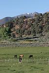 horses near Coleville