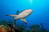 Caribbean reef shark, Carcharhinus perezii, swimming among reef fish over pristine coral reef, West End, Grand Bahama, Bahamas, Caribbean Sea, Atlantic Ocean