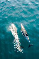 Long-beaked common dolphins, Delphinus capensis, Sea of Cortez, Midriff Islands, Mexico, Pacific Ocean