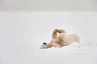 Polar bear cub rolls in the falling snow on an island in the Beaufort sea, arctic, Alaska.