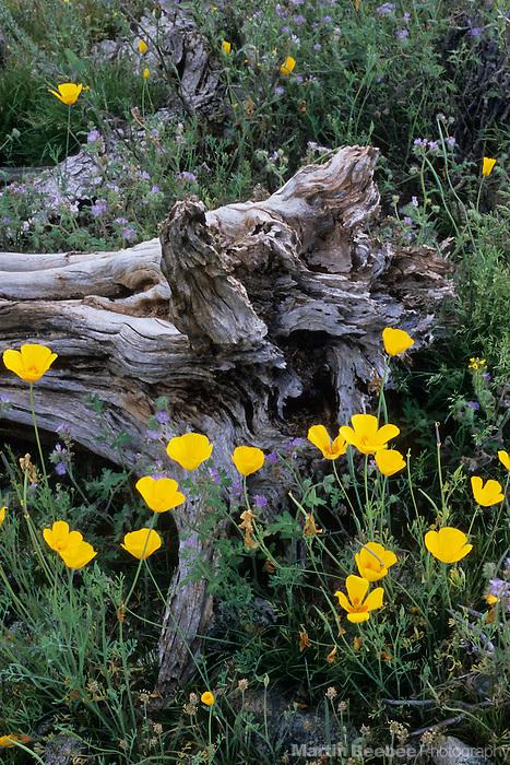 Mexican gold poppies (Eschscholzia californica) and saguaro stump, South Mountain Park, Arizona