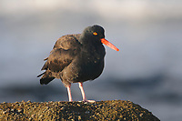 Black Oystercatcher (Haematopus bachmani) on coastal rock. Monterey County, California. October.