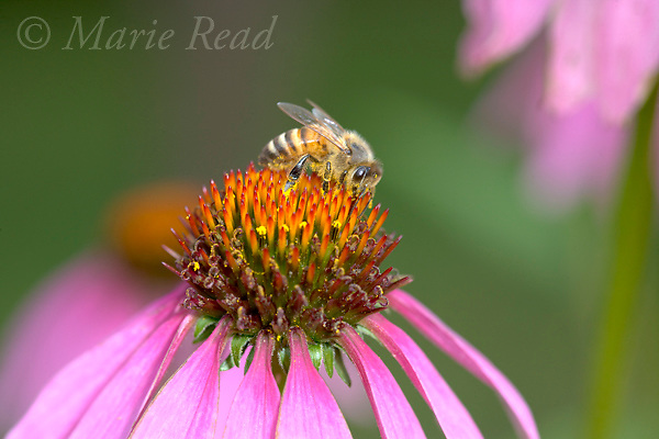 Honeybee (Apis mellifera), worker on purple coneflower, New York, USA