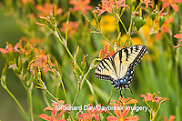 03023-02518 Eastern Tiger Swallowtail (Papilio glaucus) on Blackberry Lily (Belamcanda chinensis)   Marion Co.  IL