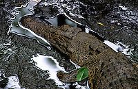 Environment the endimic saltwater crocodile in Palau Micronesia