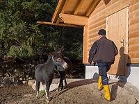 Muli, Hochimst Zoo Obermarkter Alm, Imst, Tirol, &Ouml;sterreich, Europa<br /> Mulu, Zoo Obermarkter Alm at Hochimst, Imst, Tyrol, Austria, Europe