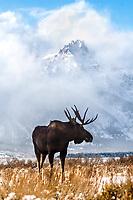 Bull Moose, clearing storm, grand tetons, Grand Teton National Park, Jackson Hole, Wyoming