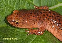 0610-0802  Northern Red Salamander, Pseudotriton ruber ruber  © David Kuhn/Dwight Kuhn Photography