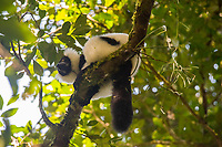 Africa, Madagascar, Andasibe. Vakona Forest Lodge, Vakona Reserve. Black and white ruffed lemur.