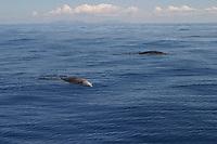 Cuvier's beaked whale, Ziphius cavirostris, Azores Island, Portugal, North Atlantic