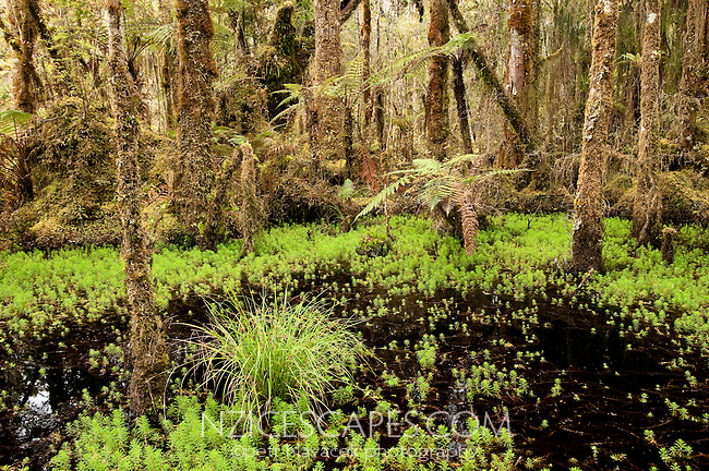 Bogs at Ship Creek and fresh green moss - South Westland, West Coast, New Zealand