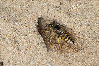 Kreiselwespe, Grabwespe, an ihrem Erdbau im Sand, Weibchen, Bembix oculata, sand wasp, sand wasps, female