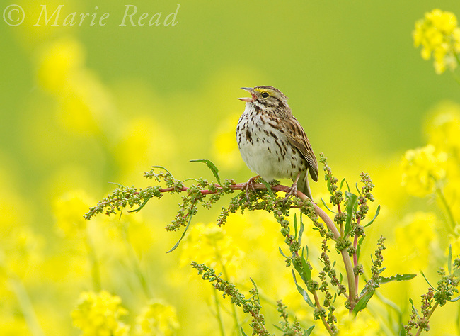 Savannah Sparrow (Passerculus sandwichensis), male singing in summer against background of yellow flowers, New York, USA