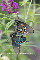 03004-01507 Pipevine Swallowtail (Battus philenor) male and female mating on Butterfly Bush (Buddleja davidii) Marion Co. IL