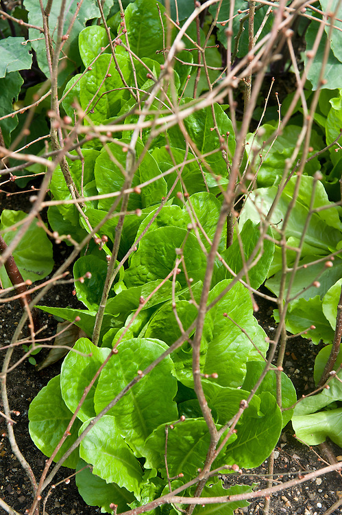 Lettuce 'Green Hearting Mixed' (Thompson & Morgan) protected against birds by hazel twigs, mid June.