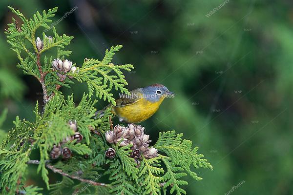 Nashville Warbler (Vermivora ruficapilla) male, singing (Michigan)