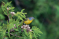 Nashville Warbler (Vermivora ruficapilla) male, singing (Michigan)