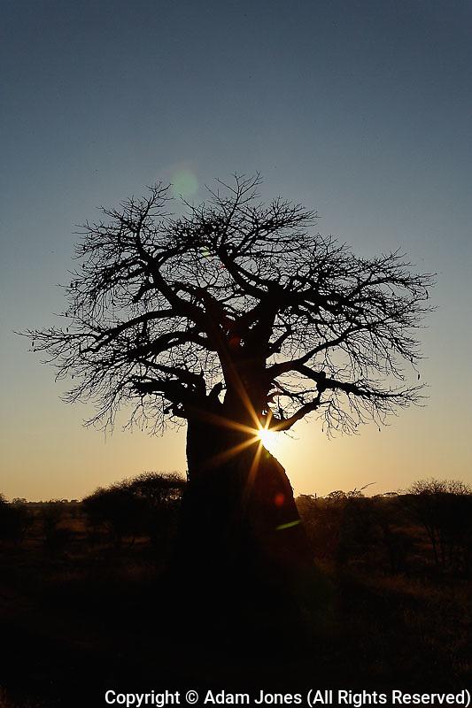 African baobab tree, Adansonia digitata, silhouetted at sunset, Tarangire National Park, Tanzania, Africa