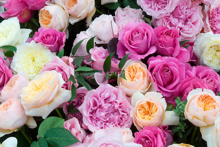 Masses of pastel roses of many types including English, hybrid tea, David Austin, pinks, peach, apricot, cream, whit, fill entire frame for calendar quality