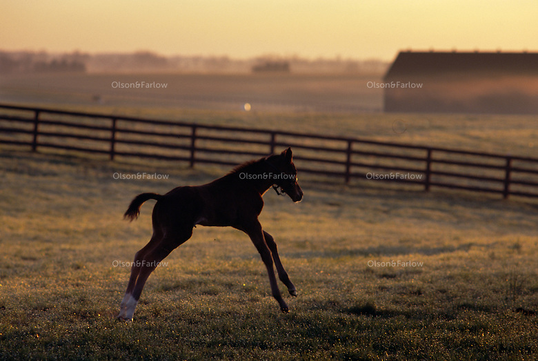 Spirited young foal runs when turned out in the early morning. <br /> Some of the world's fastest Thoroughbreds--like Seabiscuit and Secretariat--lived at Claiborne, one of the oldest and largest horse farms in the Bluegrass region.