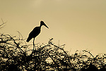 Marabou Stork, Leptoptilos crumeniferus, perched high in treetop, Lake Awasa, Ethiopia, sunset, silhouette, Africa