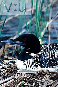 Common Loon on nest (Gavia immer)