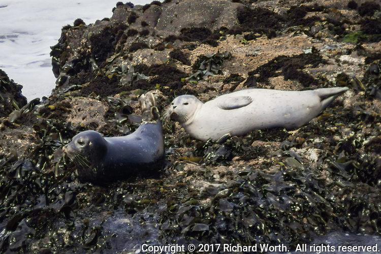 Two juvenile Harbor Seals on the rocks just offshore at Bean Hollow State Beach, California..