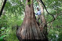 Bald Cypress Trunks; Taxodium distichum; Cypress-Tupelo Swamp; GA, Ebenezer Creek