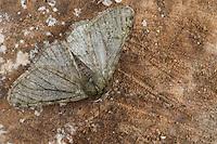 Schneespanner, Schnee-Spanner, Männchen, Phigalia pilosaria, Pale Brindled Beauty, male, Phalène velue, Phigalie velue, Phalène de l'aulne, Spanner, Geometridae, geometer moths, geometers