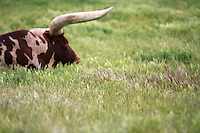 Watusi Cattle, also known as African Ankole-Watusi, lazily graze in the lush, green pastures of Santa Barbara County, California. Photography by Kimberly Catherine Park of KCPhotography in Lompoc, CA.