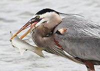 Adult great blue heron with a freshly-caught mullet