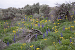Big Lupine and Senecio blooming among big sagebrush.  Beezley Hills Preserve of The Nature Conservancy.  Douglas County in Washington State