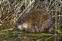 Muskrat (ondatra zibethicus) standing on some floating weeds near Beaverhills Lake, Alberta, Canada