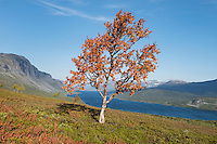Autumn tree above lake Langas near STF Saltoluokta Fjällstation, Kungsleden trail, Lapland, Sweden