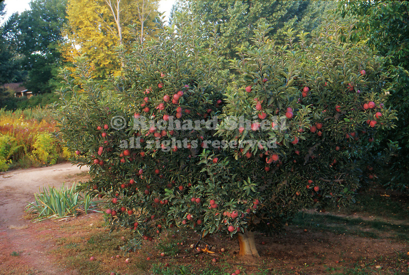 12745-CS Red Delicious Apple Tree, Malus hybrid, fruit ripening in October, at Mourning Cloak Ranch & Botanical Garden, Tehachapi, CA USA.