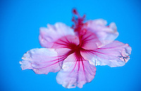 Pink Hibiscus floating in blue water